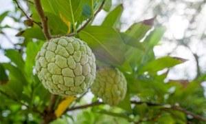 اس منفرد پھل کے حیران کن فوائد جان لیں