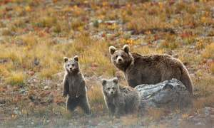 As the brown bear thrives in Deosai, villagers feel threatened