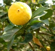 GARDENING: 'WHY ARE MY ORANGE TREES DYING?'