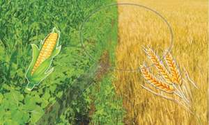 Fruitful year for wheat, maize varieties