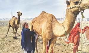 Fresh and healthy camel milk sells by the roadside in Karachi
