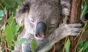 Did you know? facts! Koalas