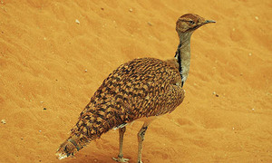 Dubai royal official allowed to hunt houbara bustard
