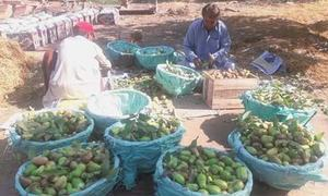 Guava production in Larkana tumbles to all-time low