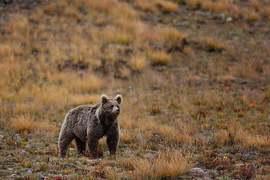 دیوسائی نیشنل پارک اور مقامی افراد میں ریچھ کے حوالے سے تنازع