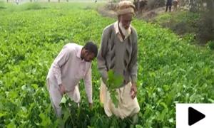 جہلم کے سرسبز کھیتوں میں لگی سرسوں پنجاب بھر میں مشہور