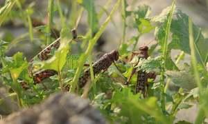 Emergency declared in nine districts after Dera locust attack