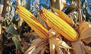 10 new maize varieties introduced