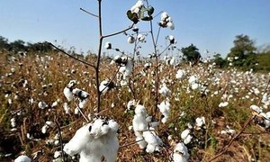 Cotton production falls to 8.6m bales
