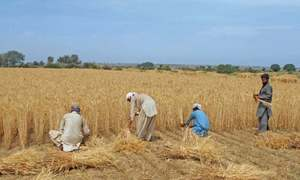 Wheat panel to recommend increase in price for Rabi crop