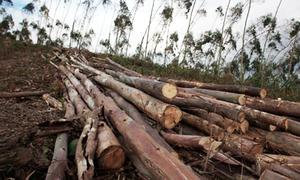 Felling of more than 80 trees in Kotli Sattian sparks protest