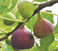 GARDENING: 'WHY ARE MY FIGS NOT RIPENING?'