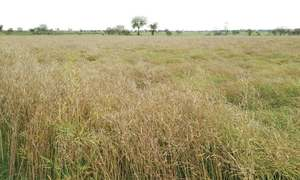 Rust disease attacks wheat crop in Potohar