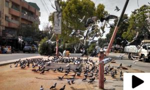 لاک ڈاؤن کے دوران چوراہوں پر پرندوں کو دانہ ڈالنے والوں کی آمد رک گئی