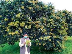 Mango orchard owners fear powdery mildew, midges attack