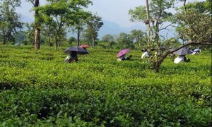 Thousands of daily wagers to be hired for plantation