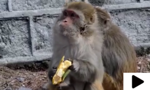 لاک ڈاؤن کے باعث گلیات میں بھوکے بندروں میں کھانا تقسیم