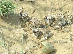 Hope in Cholistan as houbara chicks hatch