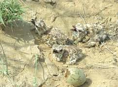Hope in Cholistan as houbara chicks hatch