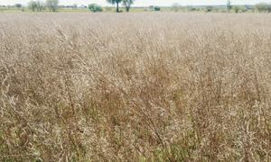 Rain damages wheat, mustard crops in Chakwal