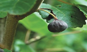GARDENING: 'CAN I GROW A FIG TREE FROM FIGS?'