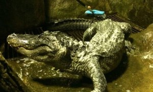 84-year-old alligator rumored to have been Hitler's dies in Moscow
