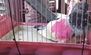 Owner rejects Indian claim of 'spy' pigeon's capture