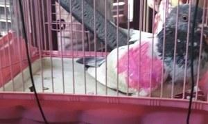 'جاسوس کبوتر' پکڑنے کا بھارتی دعویٰ پرندے کے مالک نے مسترد کردیا