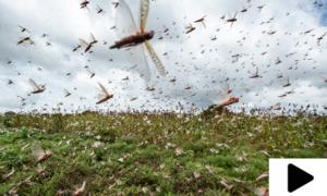 بلوچستان میں ٹڈی دل کے حملے، 31 اضلاع میں فصلیں اور باغات تباہ