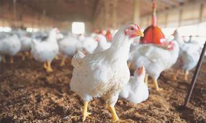 مرغی میں کورونا وائرس ہونے کا 'پروپیگنڈا' مسترد