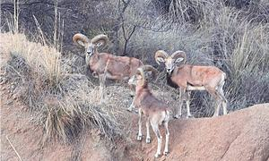 WILDLIFE: CAN THE URIAL BE SAVED?