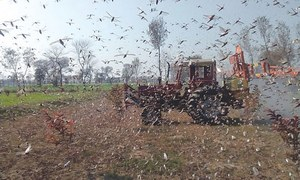 Locust swarms exist in 43 districts, warns NDMA