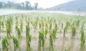 Rain, hailstorm damage crops, orchards in several districts