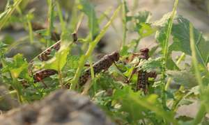 Govt plans to use locusts for developing bio-compost