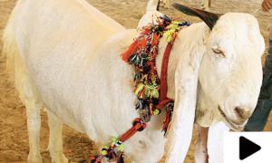 لاہور میں عیدالاضحیٰ کیلئے بکروں کی آن لائن خرید و فروخت