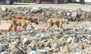 Vaccinated, sterilised dogs found poisoned to death in Karachi's Clifton
