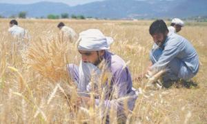Permits for 1.57m tonnes of wheat import issued