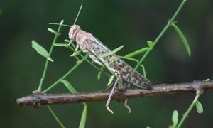 Locust threat forces farmers in Thar desert to keep land fallow