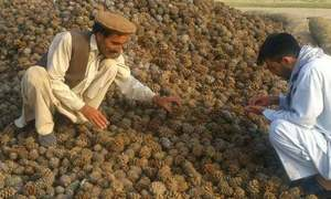 Protesting tribals in North Waziristan seek permission to harvest chilgoza nut
