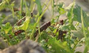 Risk of locust migration subsides