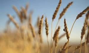 گندم کے لیے کم از کم امدادی قیمت 1600 روپے مقرر کرنے کی تجویز