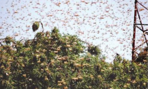 Ecnec to approve WB-funded project for locust preparedness, food security