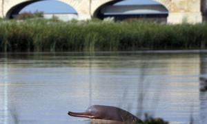 'سی پیک کے تحت ڈیموں کی تعمیر کا منصوبہ انڈس ڈولفن کیلئے خطرہ بن سکتا ہے'