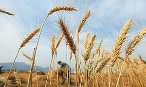 گندم کی کم سے کم امدادی قیمت 1600 روپے فی من مقرر کرنے کا فیصلہ