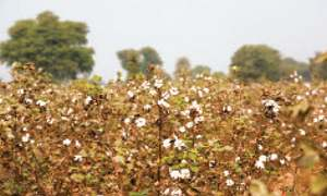 The start of the end of cotton production