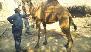 Lives of cattle at risk due to tetanus vaccine unavailability