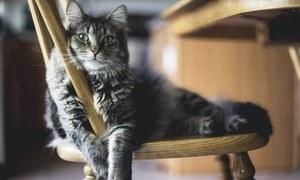 ایپ کے ذریعے بلی کی آواز کا مطلب جاننا ممکن