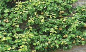 GARDENING: 'CAN WE GROW MORINGA TREES IN PESHAWAR?'