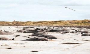 نیوزی لینڈ کے ساحل پر پھنسی تقریباً 100 وہیلز ہلاک