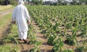 Tobacco firms aim to procure 22pc more crop in 2021